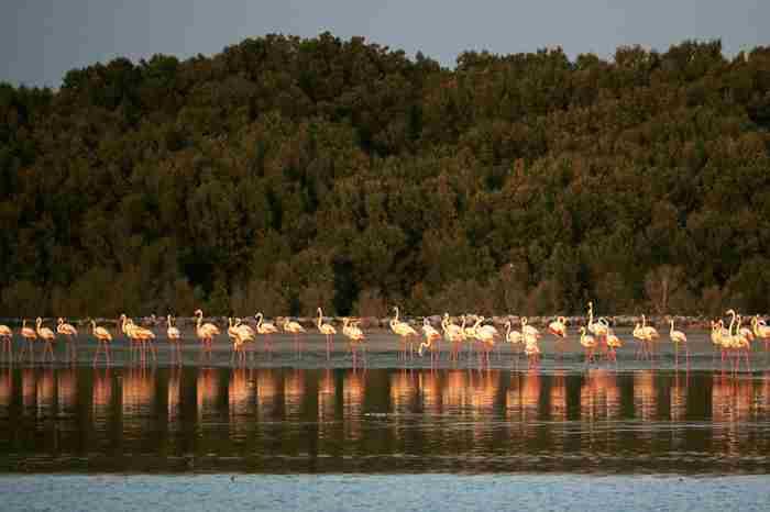 دبی برای درست کردن یک جنگل ساحلی صدها درخت میکارد