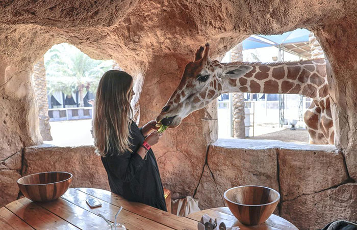 صبحانه با زرافه ها در باغ وحش امارات
